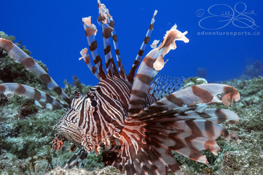 Lionfish an invasive species